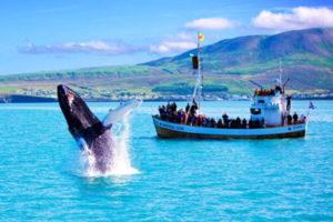 Whales Watching in Reykjavík